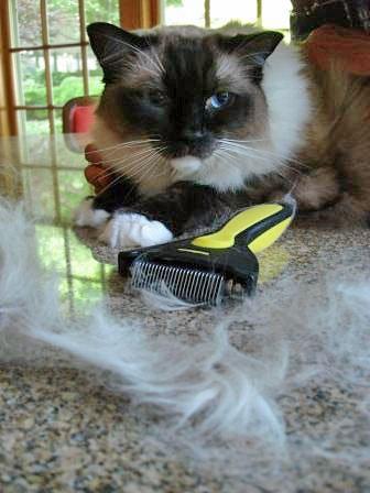 Ragdoll groomed during shedding season