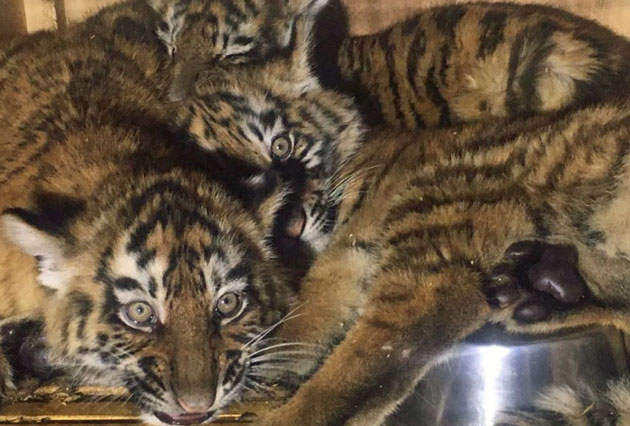 Tiger cubs imported into Lebanon