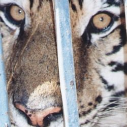 Caged circus tiger