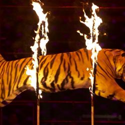 Los Angeles to ban wild animals in circuses4