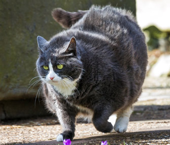 What is considered an obese cat?