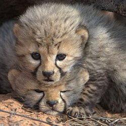 Cheetah cubs in den