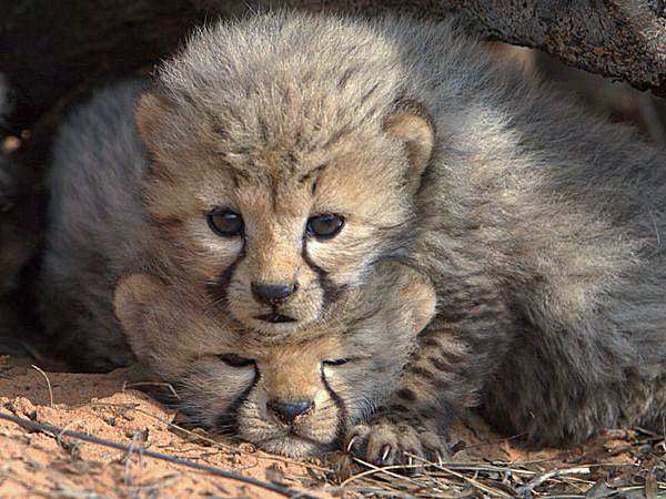 Cheetah cubs in den