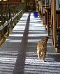 Friendly Ginger Library Cat De-stresses Cambridge University Students