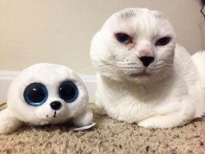 Otitis an earless white cat