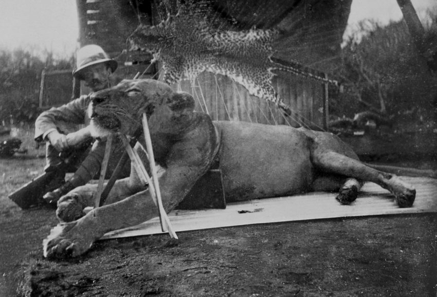 Tsavo man-eating lion