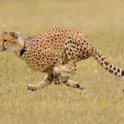 Are cats faster than dogs?