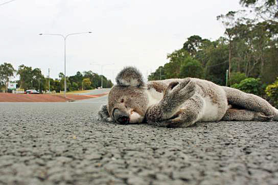 Decimation of koala numbers is a lesson in human failure to protect Australia's native species