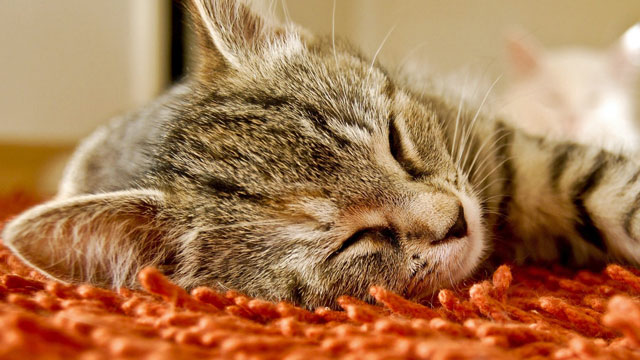 Feline Diabetes caused by fire-retardants in carpets, curtains and upholstery