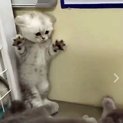 Gorgeous Purebred Kitten Terrified By Adult