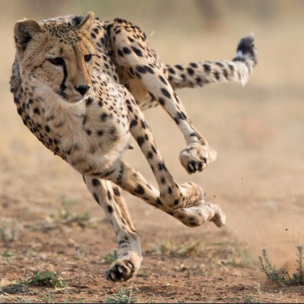 How long can a cheetah live?