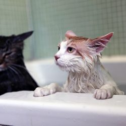 Is it bad to give your cat a bath?