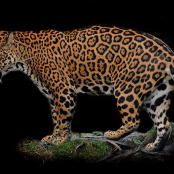 How much do jaguars eat? - Photo by Steve Wilson