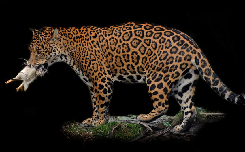 What Do Jaguars Eat >> How Much Do Jaguars Eat Poc