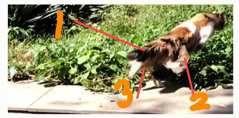 Three tailed cat? No!