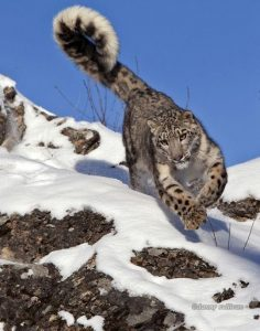 If you stand on one leg you have to maintain your balance. If you wobble slightly you will move your other leg outwards or to one side to counterbalance your body and thereby retain balance. These are the same principles with respect to the physics as the use of a snow leopard's tail when hunting.