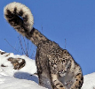 Why do snow leopards have such long tails?
