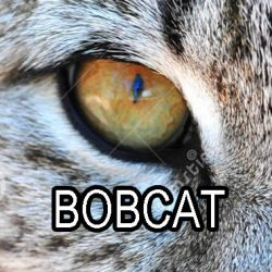 Why do wild cats have round pupils?