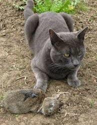 Would a cat attack a rabbit?