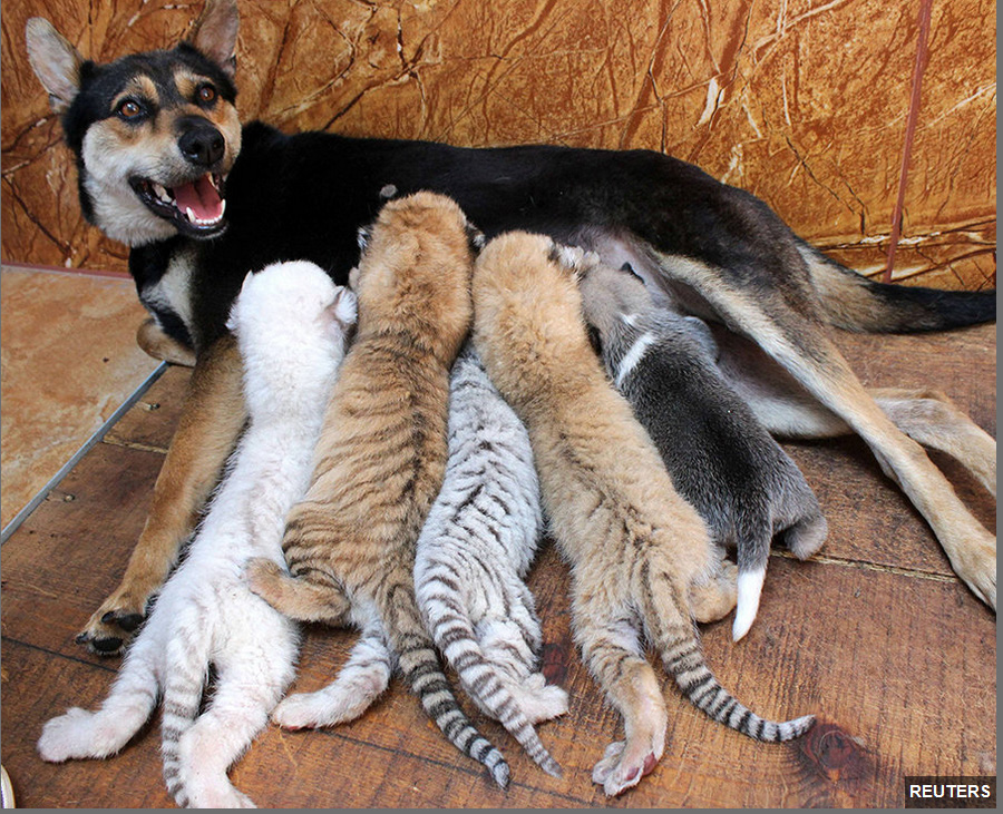 Dog mothers four rare tiger cubs of different coats