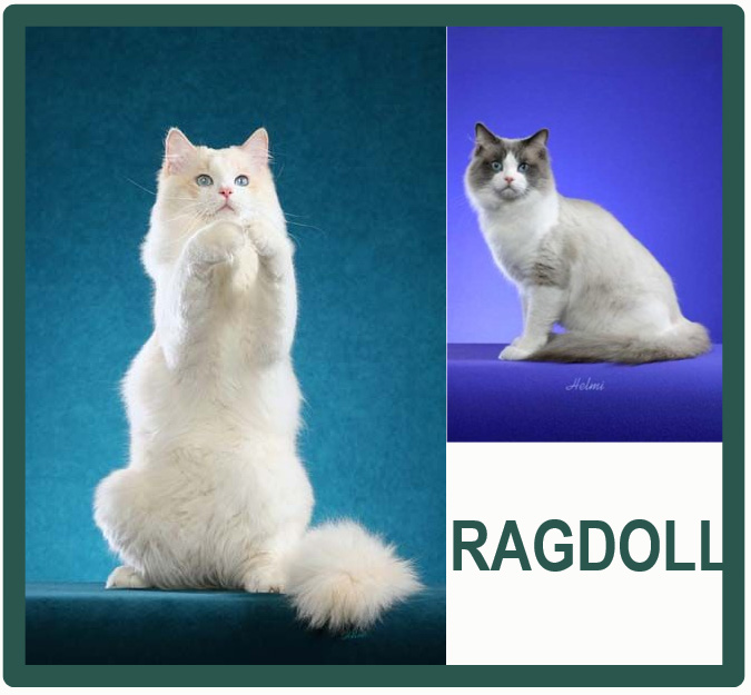 Ragdoll - most affectionate cat breed
