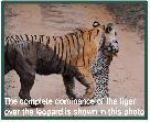 Tiger versus leopards