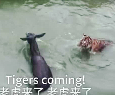 Live Donkey Is Fed to Tigers at a Zoo in China