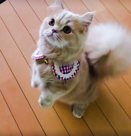 Dwarf cat with fluffy tail