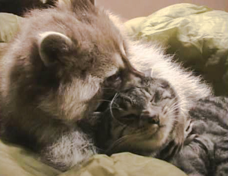 Raccoon and Cat. Are raccoons smarter than cats?