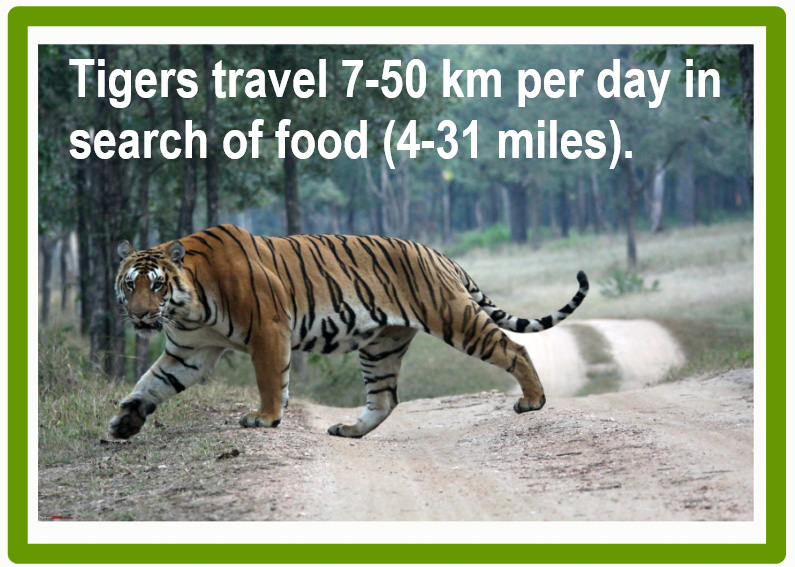 How far do tigers travel a day?
