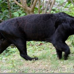 At least 150 black panthers at large in Britain!