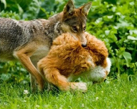 Do coyotes eat cats?