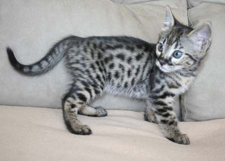 Fraudster selling F1 Savannah kittens