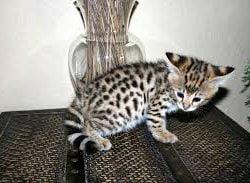 Fraudster selling F1 Savannah kittens