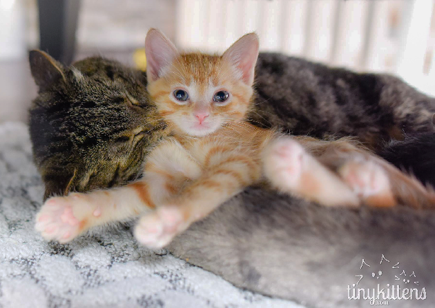 Male feral cat is excellent kitten foster parent