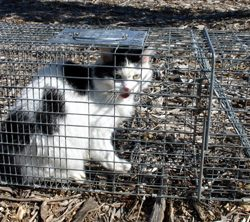 Trapped cat - feral? Stray? Or Domestic?