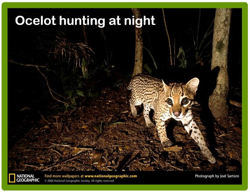 Ocelot hunting at night