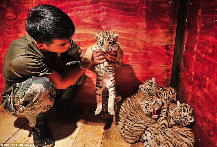 Siberian tiger cubs septuplets born in captivity