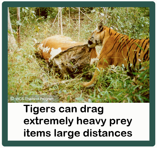 Tigers are enormously strong