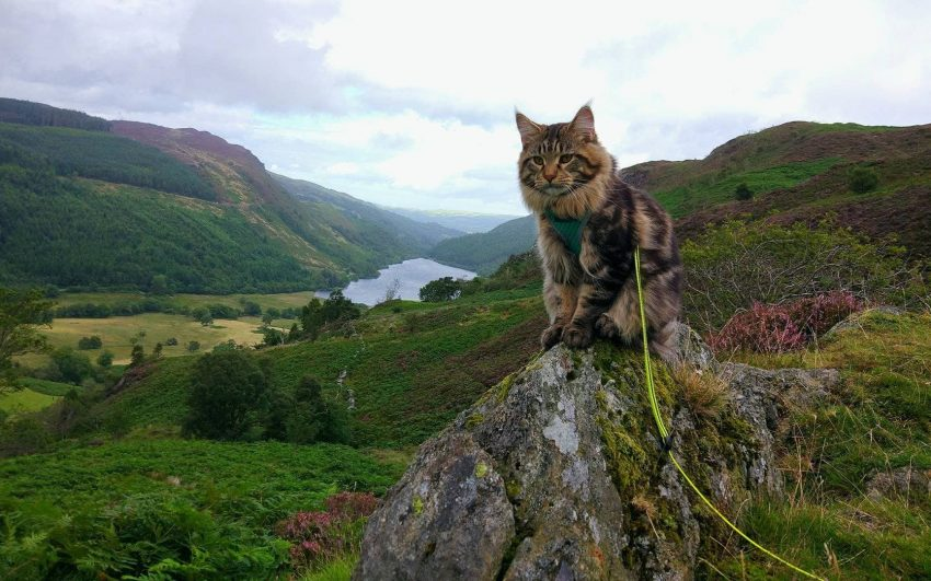 Ash - a cat on a leash in Snowdonia NP. Photo: Marleen Maathius and Tim Van Cromcoirt