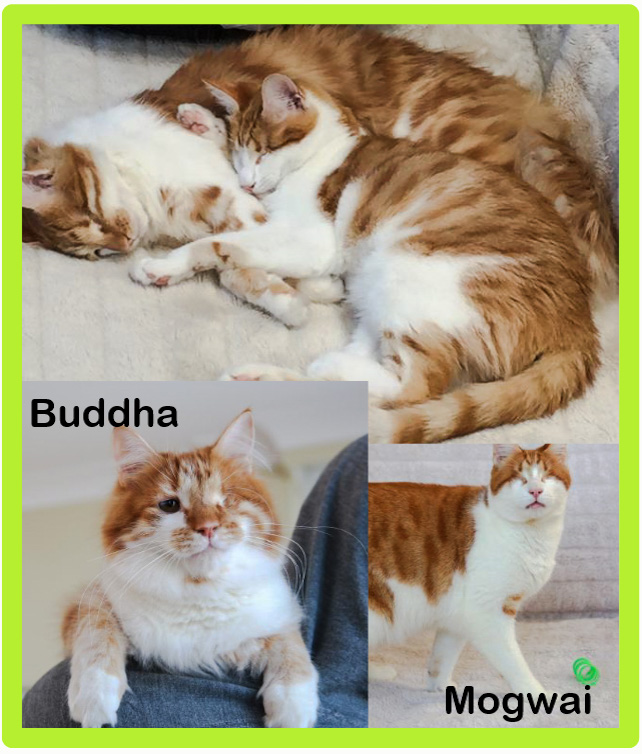 Buddha and Mogwai cat brothers one partially sighted the other blind