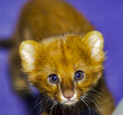 Jaguarundi cub making extraordinary sounds