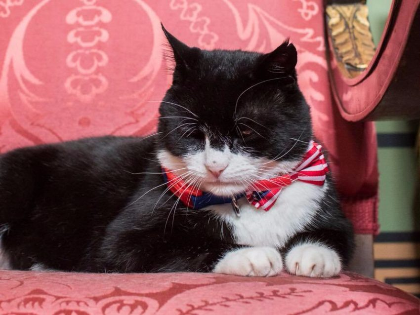 Palmerson the Foreign Office cat with bowtie presented by the US ambassador