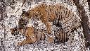 Tiger bites during mating