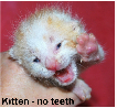 Newborn kitten with no teeth
