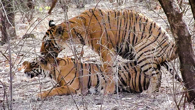 Tiger bites during mating