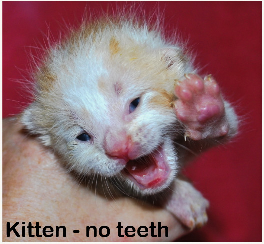 Newborn kitten - no teeth