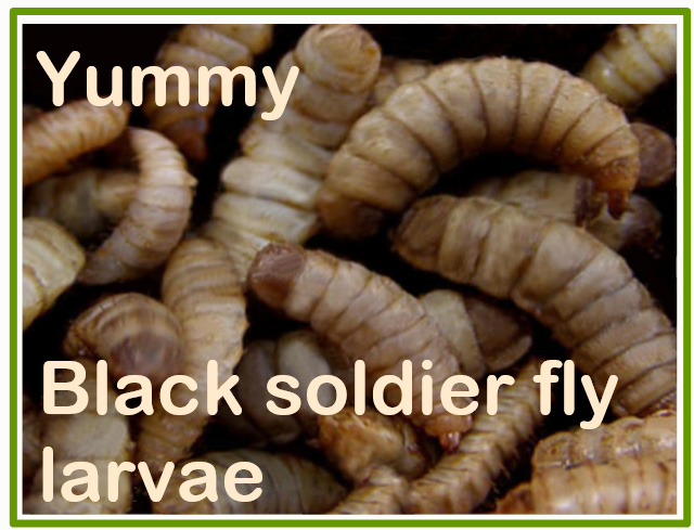 Black soldier fly larvae will feed cats in the future