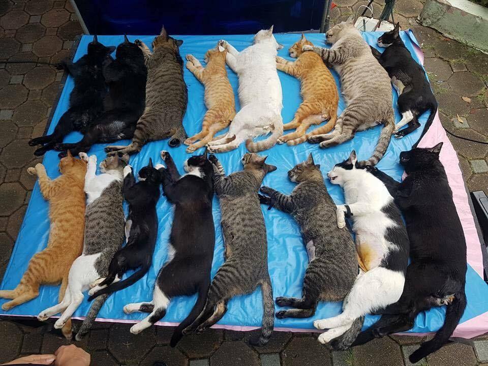 An unusual photograph of sterilised cats from Lumpini Park, Bangkok, Thailand