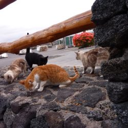 Feral cats of Hawaii